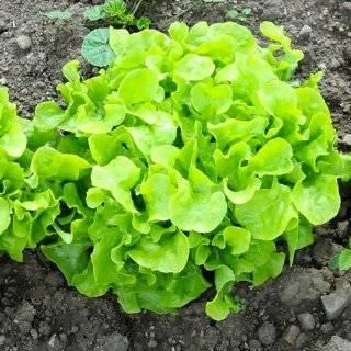 400 Seeds, Lettuce Lolla Rossa (Lactuca sativa) Seeds By