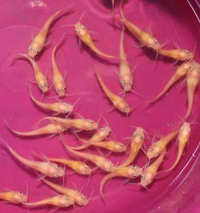 4 Lot Albino Channel Catfish Live Koi Pond Fish Aquarium Fish Tank