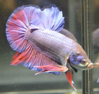Sale young halfmoon male live betta fish 06 for Giant betta fish for sale