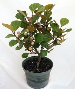 "Mistletoe Fig Tree mas Cotek Ficus Deltoidea Bonsai or House Plant 6"" Pot"