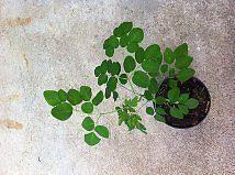 """Moringa Plants Trees """"Tree of Life"""" Medicine Plant Plantas Arbolitos de Moringa"""