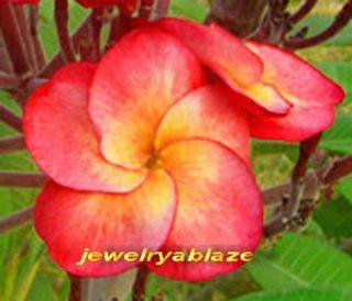 "Plumeria Frangipani Plants ""Soiytoptim"" 50 Seeds"