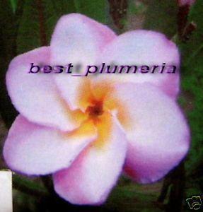 "Plumeria Frangipani Plants ""Pink Lotus"" Fresh 50 Seeds"