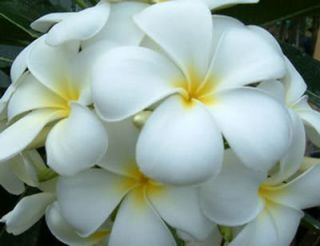 Plumeria Seeds Flowers Snowwhite Fresh 100 Seeds