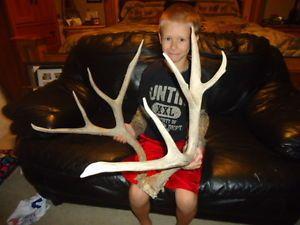 """Huge 167"""" inch Nontypical Muledeer Rack Antlers Sheds Whitetail Elk Mule Deer"""