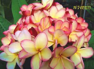 "Plumeria Plants Flowers ""Puang YOK"" 50 Seeds Fresh"