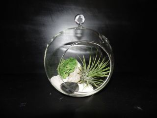 Air Plant in Hanging Glass Terrarium with Driftwood and Sand