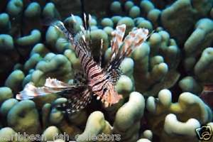 Lion Fish Small Live Saltwater Fish