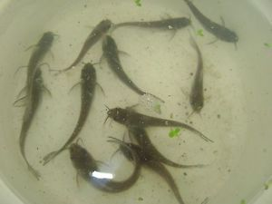 12 Live Channel Catfish Duckweed and Fish Food for Aquaponics or Your Pond
