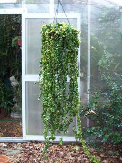 2 Plants of Variegated Hoya Carnasa Compacta Hindu Rope Plant Wax Plant