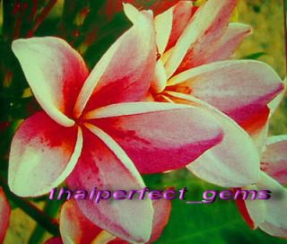 "Plumeria Frangipani Flowers ""Pinwheel"" 50 Seeds"