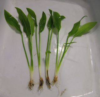 4  Roots Plants for Freshwater Aquarium Fish