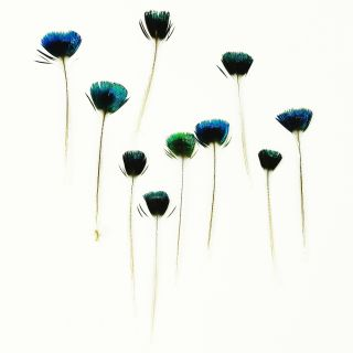 Feather Peacock Crest Corona Crown Feathers Pack of 10 Blue Green Natural