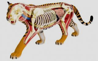 Tiger Anatomy Model Puzzle 4D Vision Kit 26105 Tedco Science Toys