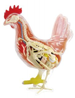 Chicken Anatomy Model Puzzle 4D Vision Kit 27405 Tedco Science Toys