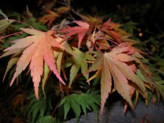 Acer Palmatum Japanese Maple Outdoor Bonsai Tree Seeds