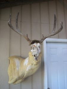 Very Nice Mule Deer Rack Antlers on Partial Skull Mount Whitetail Elk Sheds