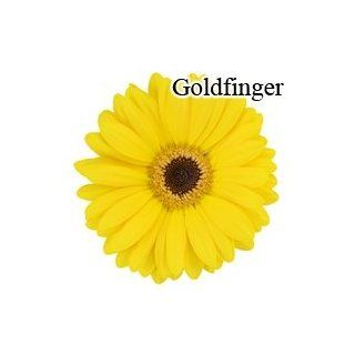 Goldfinger Yellow Gerbera Daisies   70 Stems: Arts, Crafts & Sewing